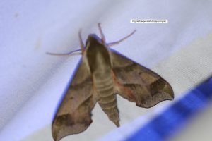 Virginia creeper moth (Darapsa myron)